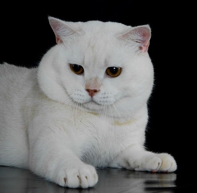 Cute Brown Eyed White British Shorthair Cat Photo Posted By Sweet Beast On Instagram British Shorthair Cats British Shorthair Cat Photo