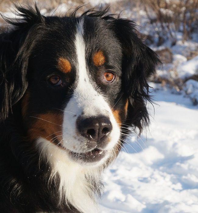 Bernese Mountain Dog Golden Retriever Mix Puppies Golden