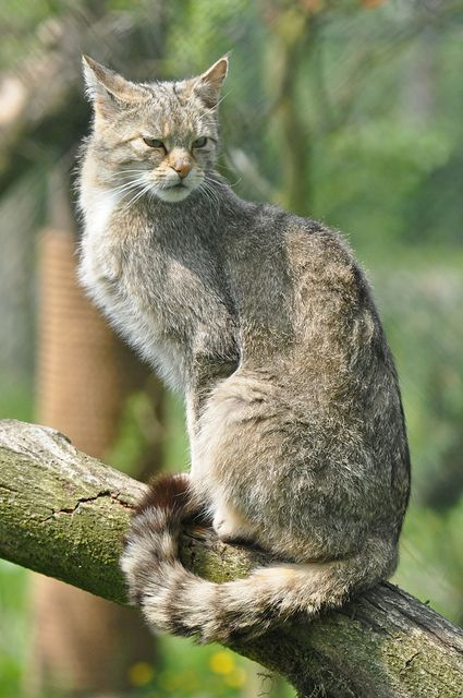 European Wildcat With Images Wild Cats Small Wild Cats