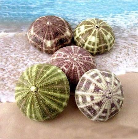 urchin shells - Google Search