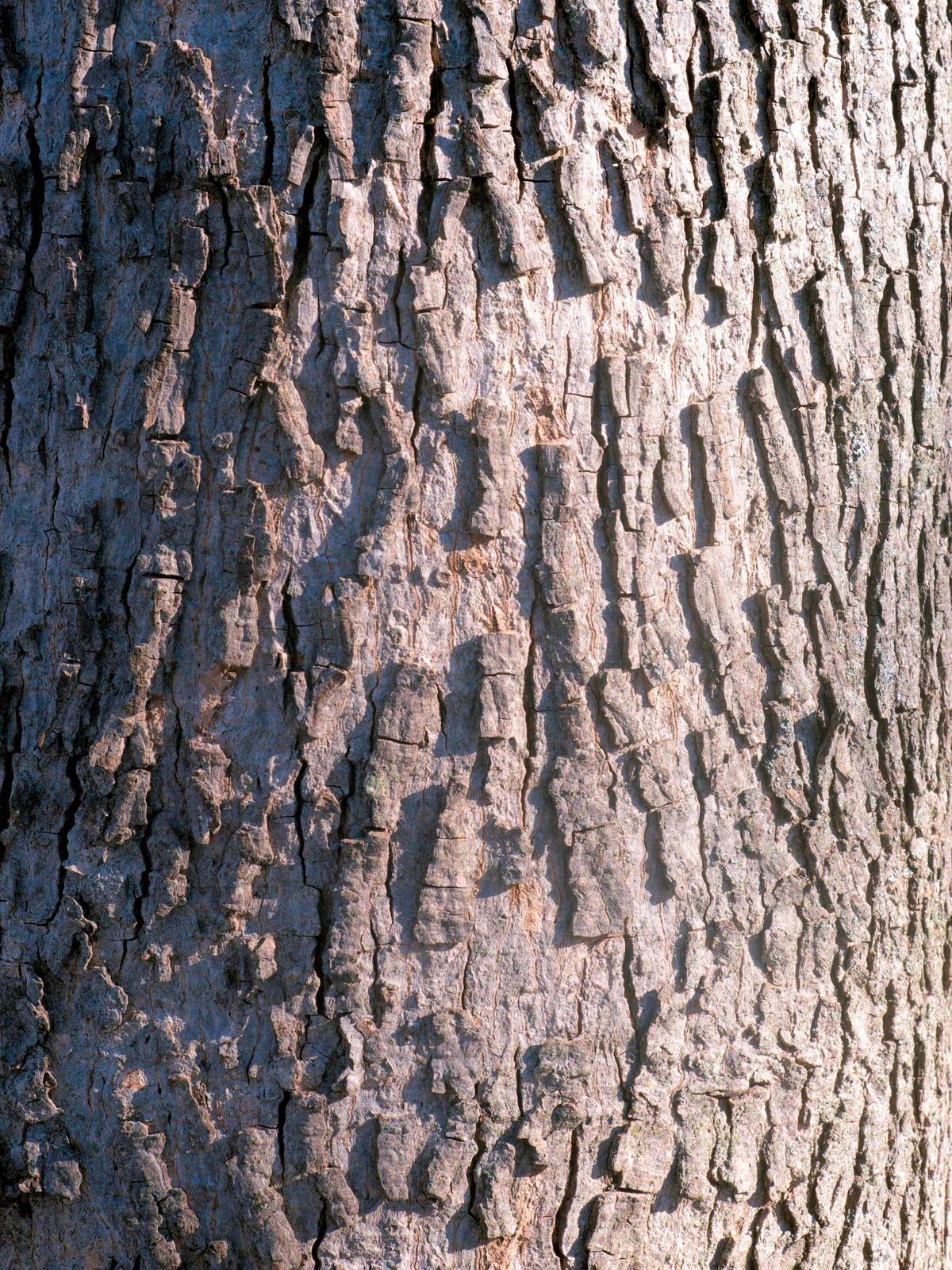 Hickory Tree Identification Hickory tree, Tree