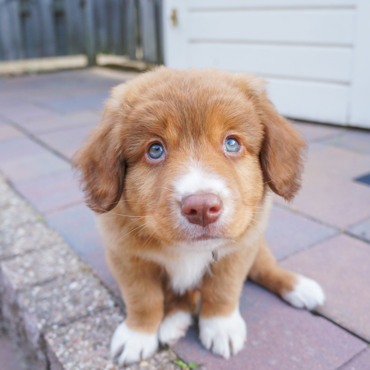 Cutest Toller Puppy Ever Styx And His Magical Blue Puppy Eyes