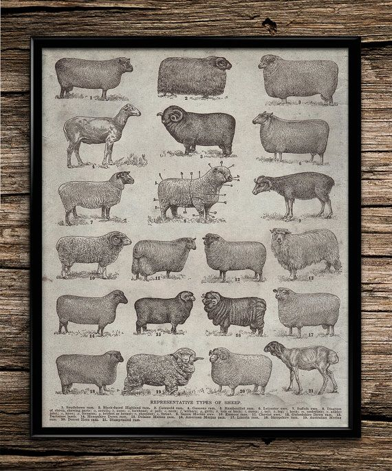 Kitchen Art Printables Collection Sale Instant Download: Vintage Types Of Sheep