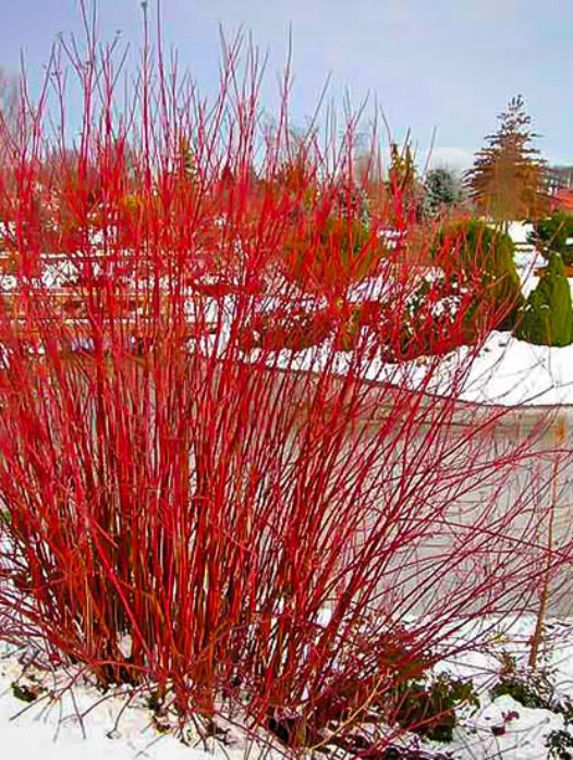 Arctic Fire Red Twig Dogwood In 2020 Red Twig Dogwood Twig Dogwood Dogwood Shrub