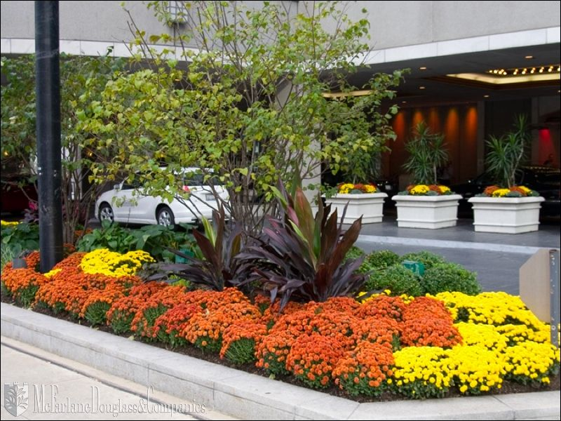 Commercial Landscaping Mums Flowers Commercial Landscaping Flower Landscape
