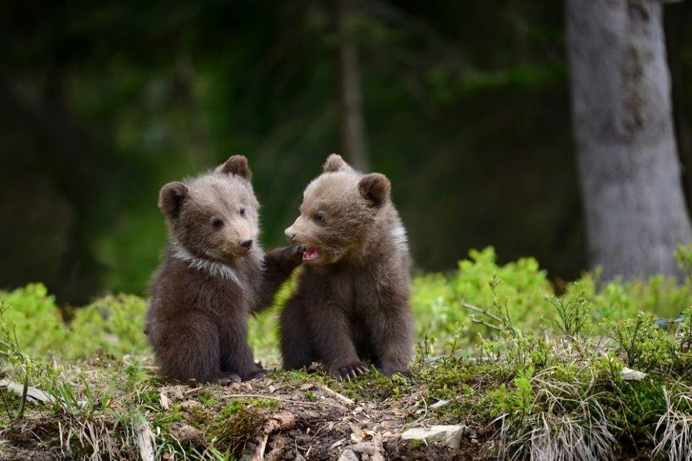 森で遊ぶ子グマたち   動物・ペット、アニマルキングダム、かわいいペット