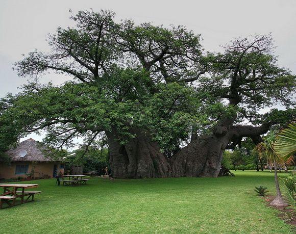 O baobá de Madagascar reserva água no tronco.