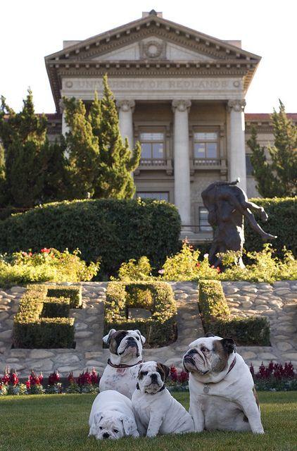 Thurber Inland Empire Bully Dog British Bulldog Redlands