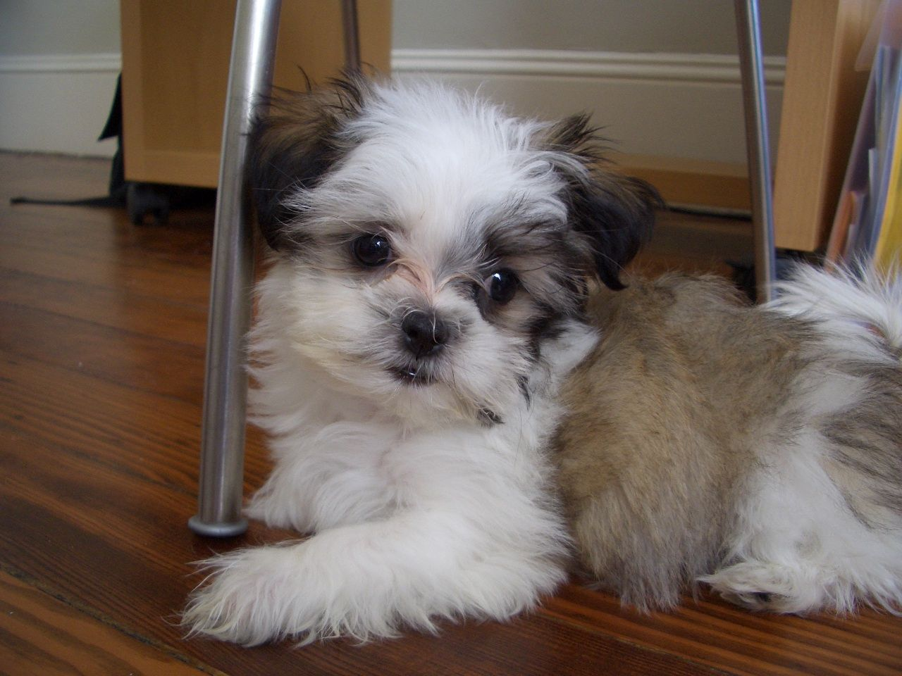 Shih Tzu Maltese Mix Puppies Price Mixed breed dogs