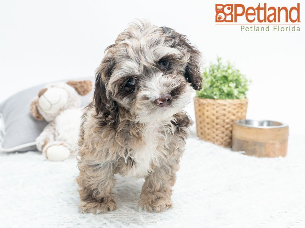 Petland Florida has Cockapoo puppies for sale! Check out