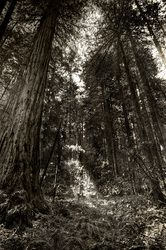 Landscape Photography Gallery - Jesse Adair Photography-Muir Woods, California.
