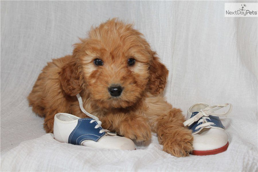 Goldendoodle Puppy for Sale Oliver Mini d085c24fc371