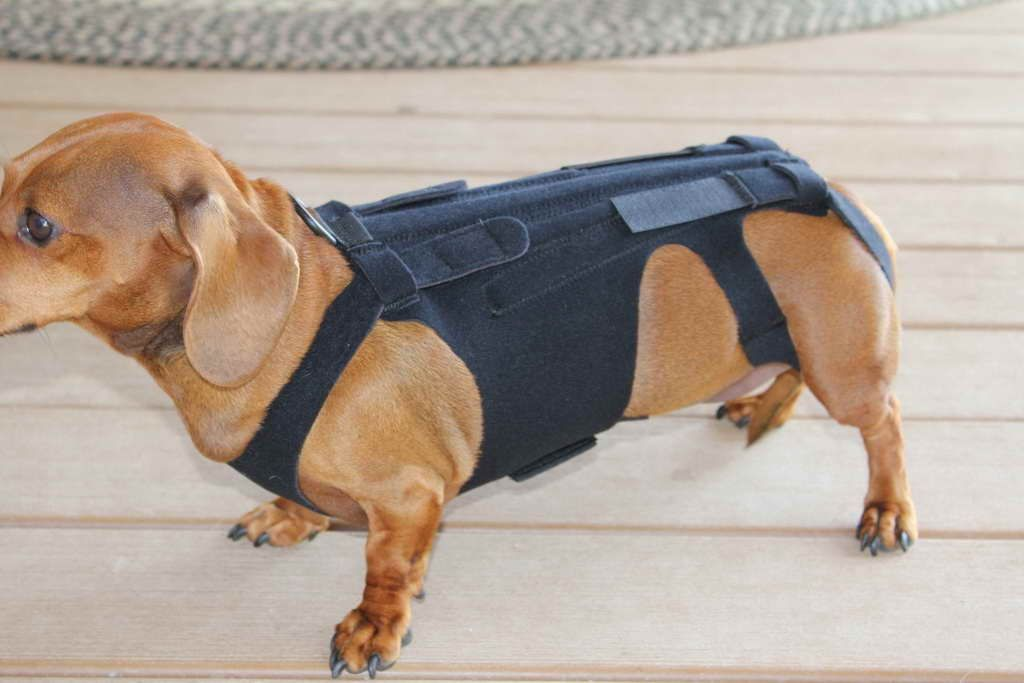 Back Brace For Dachshund Dachshund Braces Dauchshund