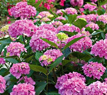 Hydrangea Macrophylla Let S Dance Moonlight White Flower Farm Hortensias Flores Plantas
