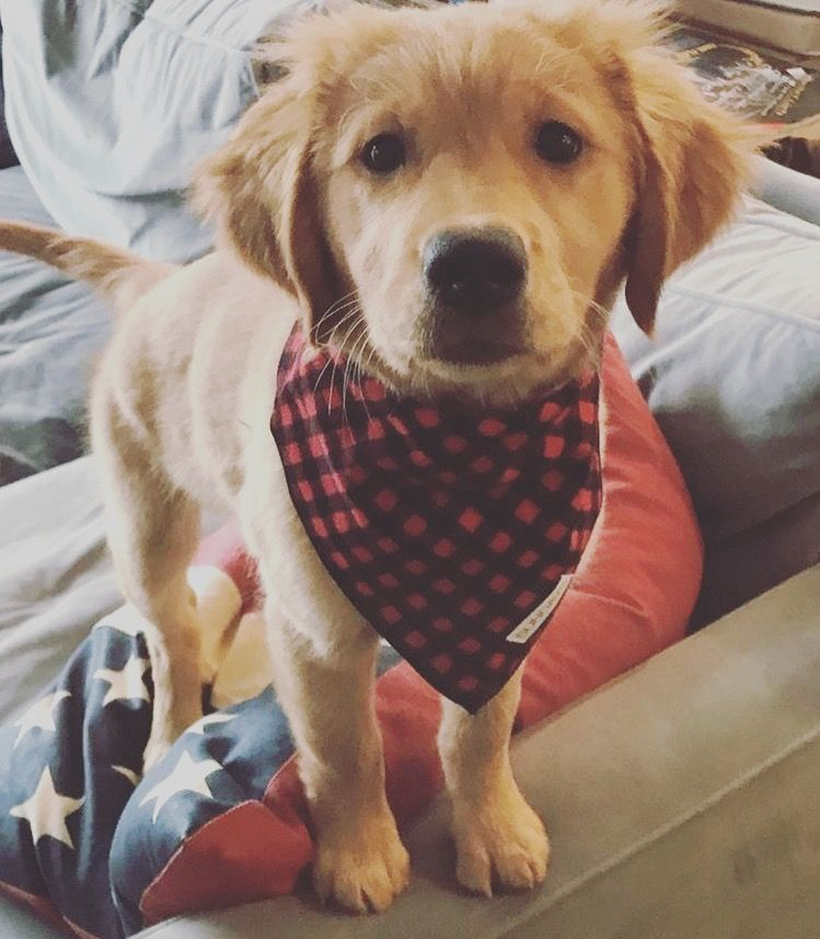 Sundays Golden Retriever In The Red Buffalo Check Flannel Dog