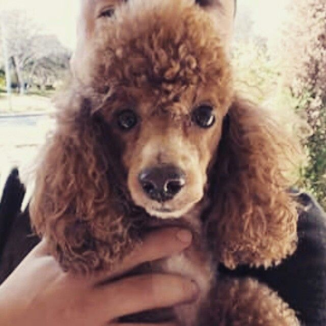 Brown Poodle Curly Hair Poodle Curly Hair Styles