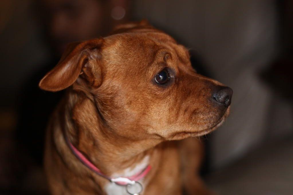 bullmastiff chihuahua mix Süße hunde, Hunde, Mischling