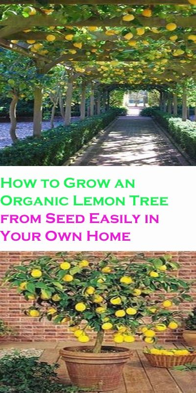 Photo of How To Grow An Organic Lemon Tree From Seed Easily In Your Own Home