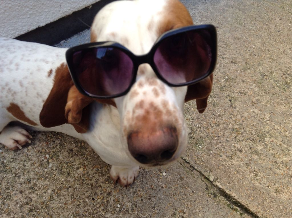 My sweet Basset boy, Rigsby wearing his Sun Glasses.
