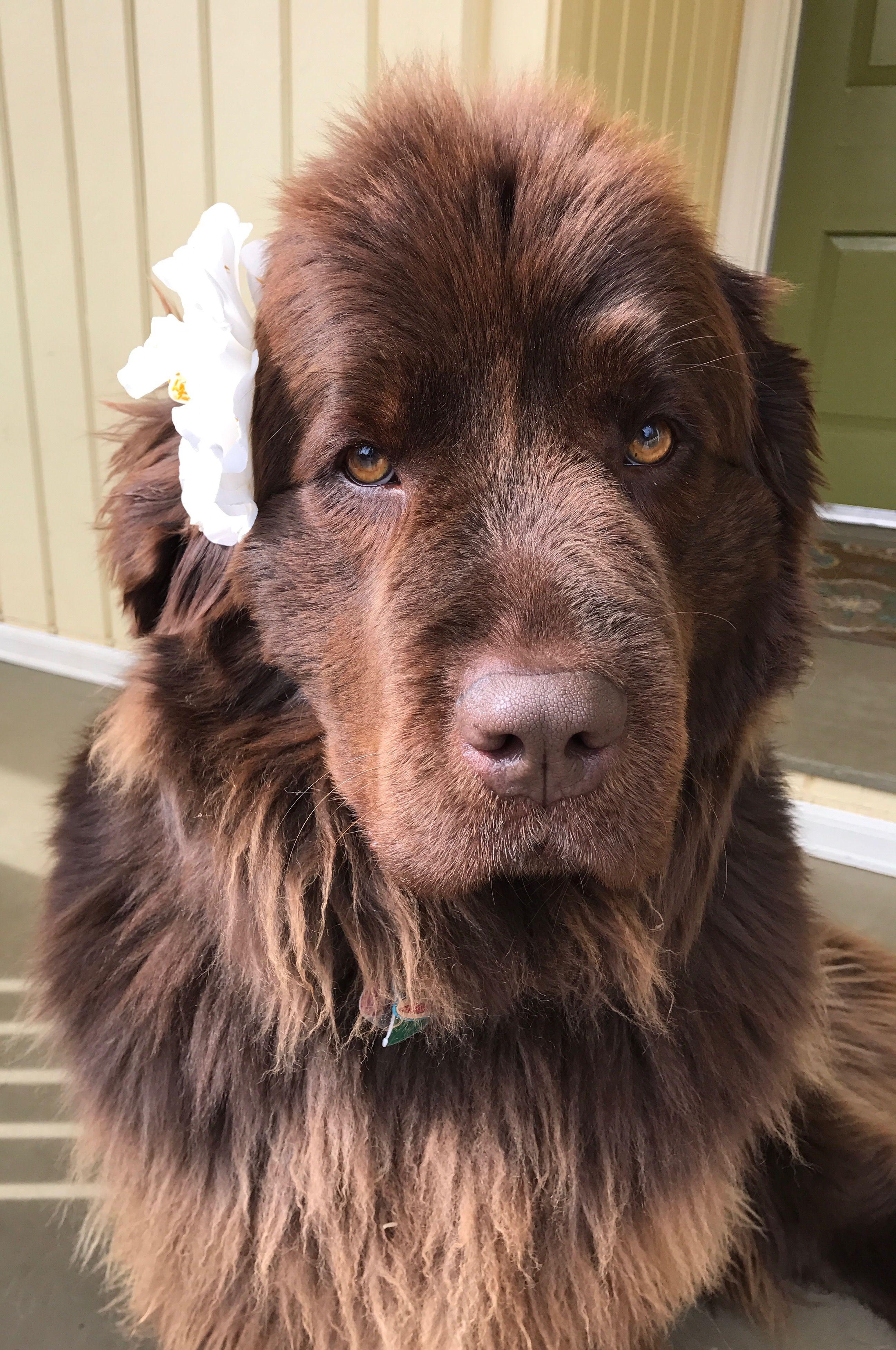 Aloha From Phoebe Golden Retriever Mix Puppies Landseer Dog