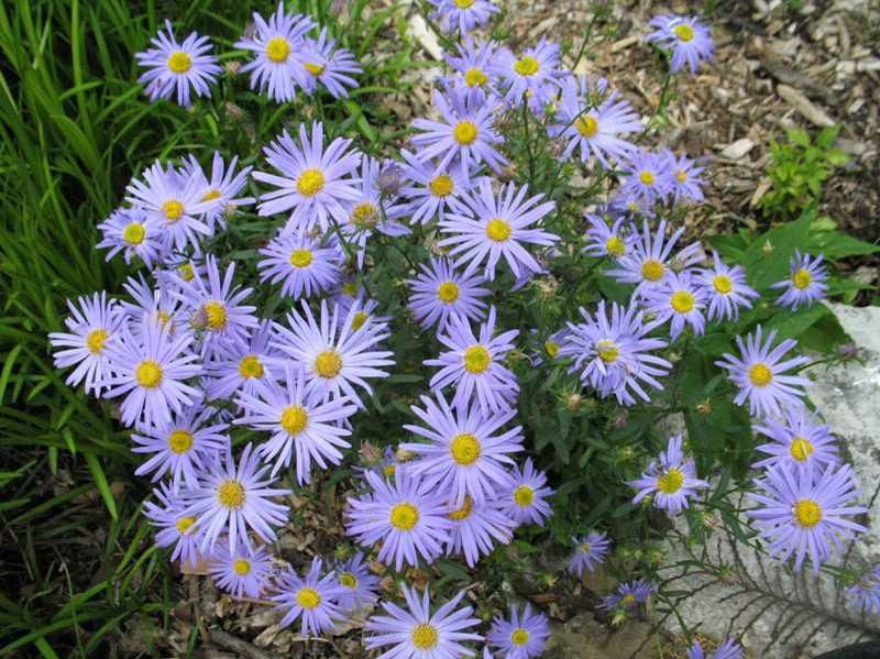 Japanese Aster June Bloom Blue Blue Star Is A Clump Forming Perennial That Is Noted For Its Long Summer Bloom Shade Plants Herbaceous Perennials Shade Garden
