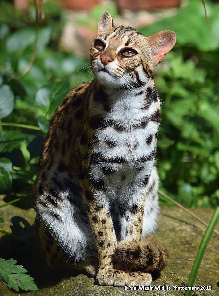 The Leopard cat (Prionailurus bengalensis) is a small wild