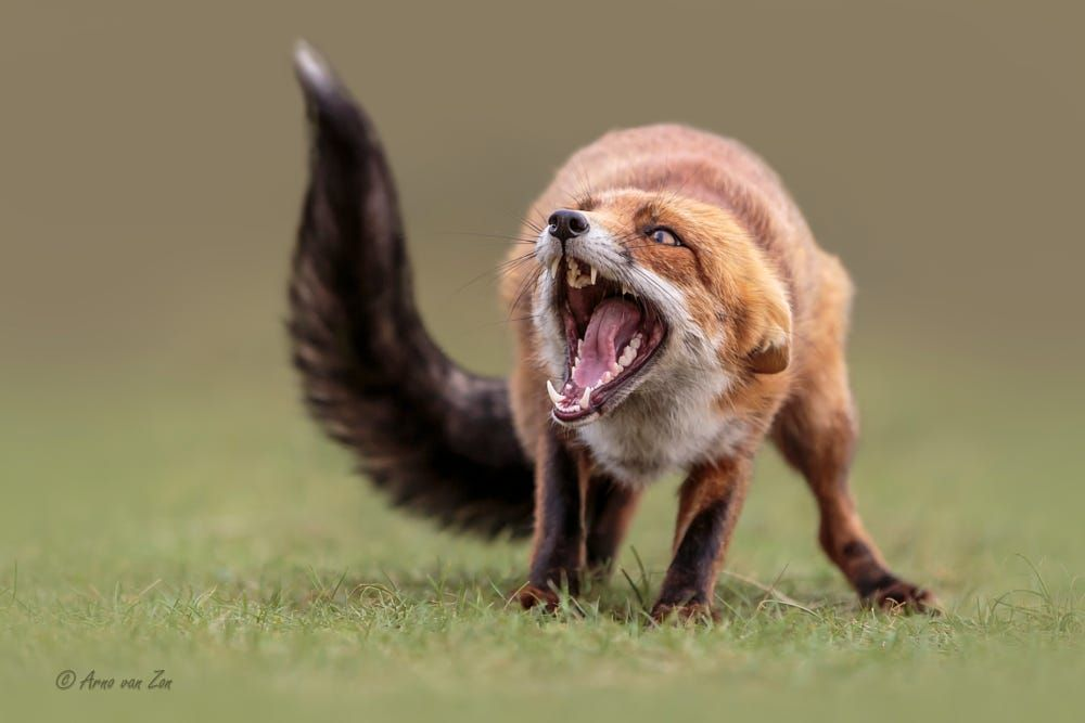 Angry Fox By Arno Van Zon On 500px Angry Animals Animals Wildlife Animals