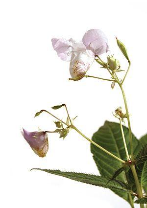 impatiens-fiori-di-bach