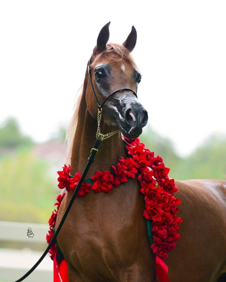 Valentino S Angel Mi Da Valentino Always An Angel Horses Arabian Horse Show Horses