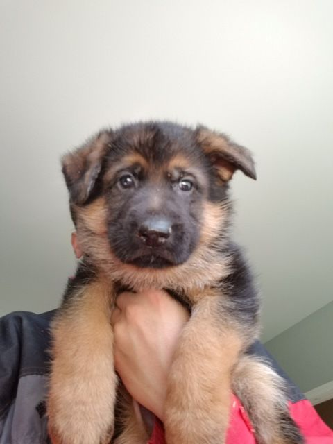 German Shepherd Dog Puppy For Sale In Auburn Wa Adn 29749 On