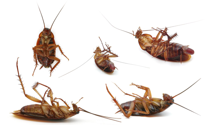 Socal American And German Roaches Control Roach Control Ant