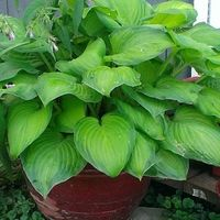 Use Of Epsom Salt On Hostas Garden Growing Tomatoes Hosta