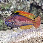 Lineatus Fairy Wrasse Terminal Phase Male Click For More Detail Best Aquarium Fish Wrasse Sea Fish