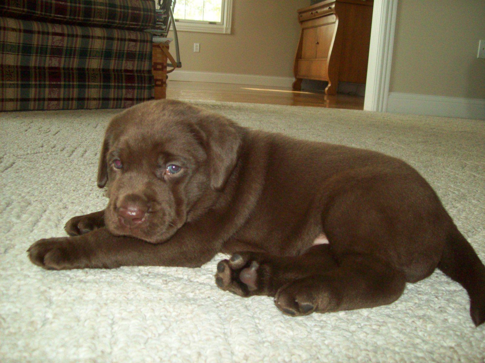 Akc Registered English Labrador Puppies English labrador