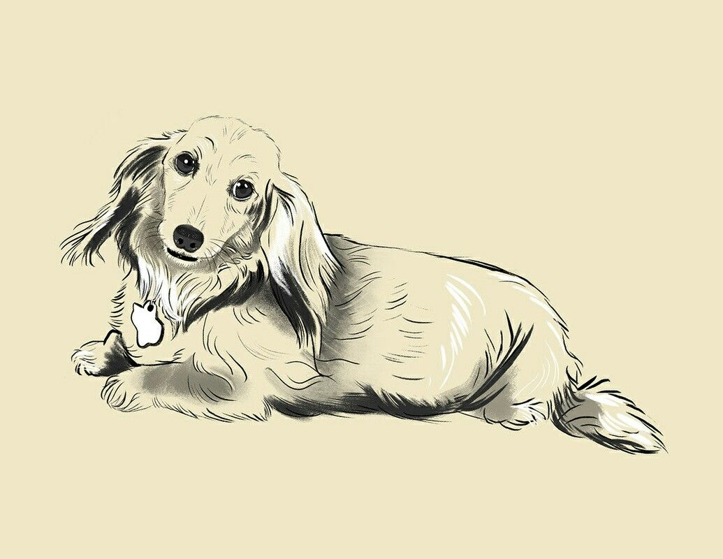 Dachshund longhaired miniature dachshunds pinterest dachshunds
