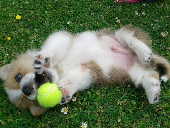 Corgi Puppy Loves His Tennis Ball Corgi Corgi Puppy