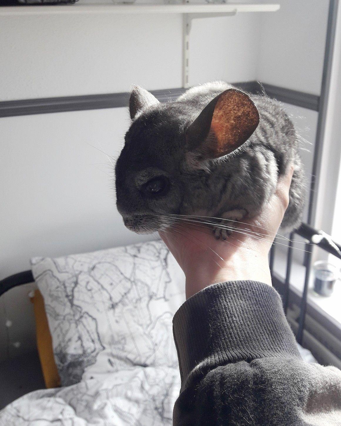 Peanut! 🥜 Chinchilla, Animals, Rabbit