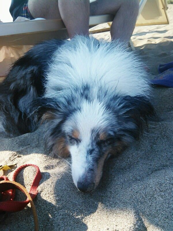 Tired shelty on the beach