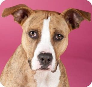 Basenji Boxer Mix American Staffordshire Terrier Boxer Mix Dog