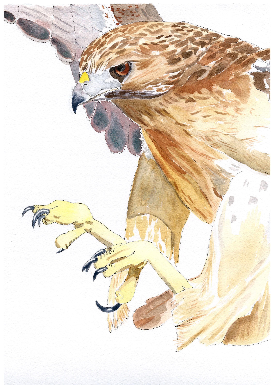 Xmas gift for him, watercolour hawk art, xmas gift for boy, bird of ...