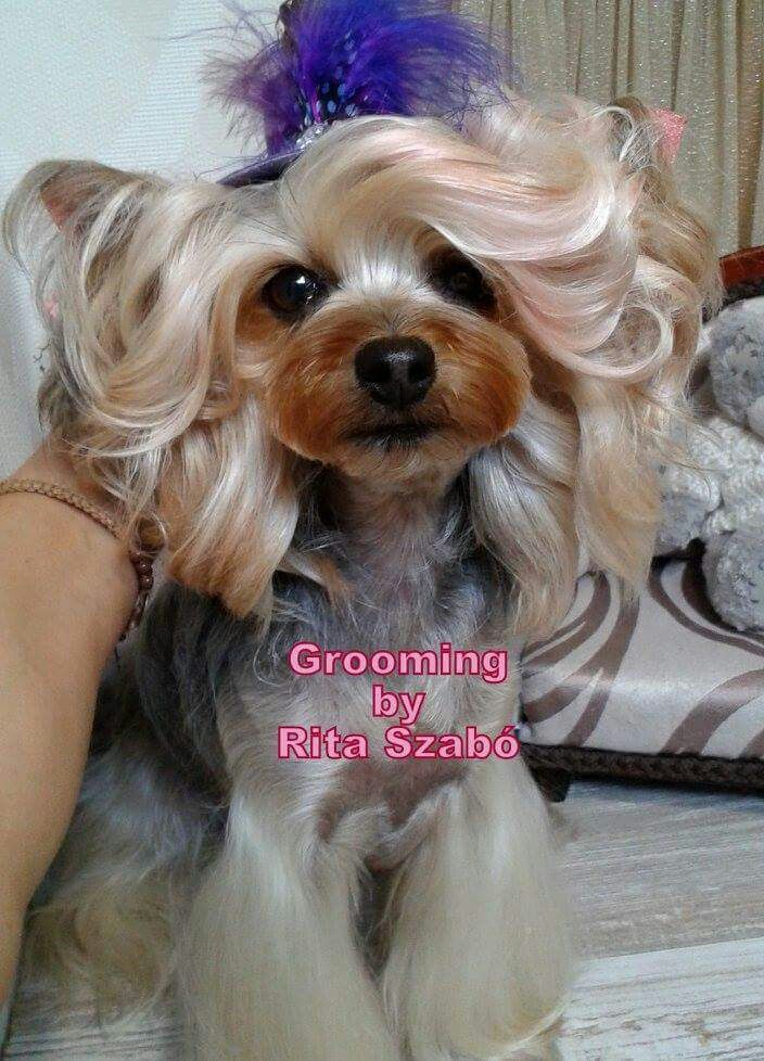 Pin By Lindsey Garcia On Dogs Pinterest Yorkie Yorkie Haircuts