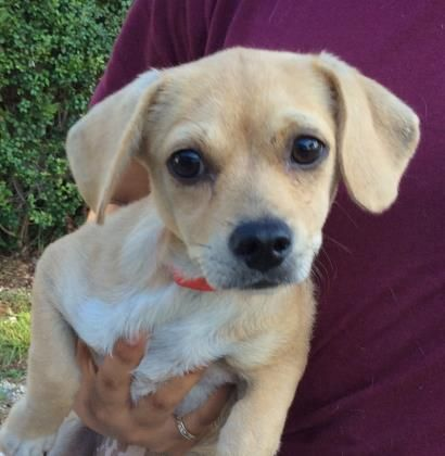 Terrier/Mix 3 months 16 days Female ID#: 33208499