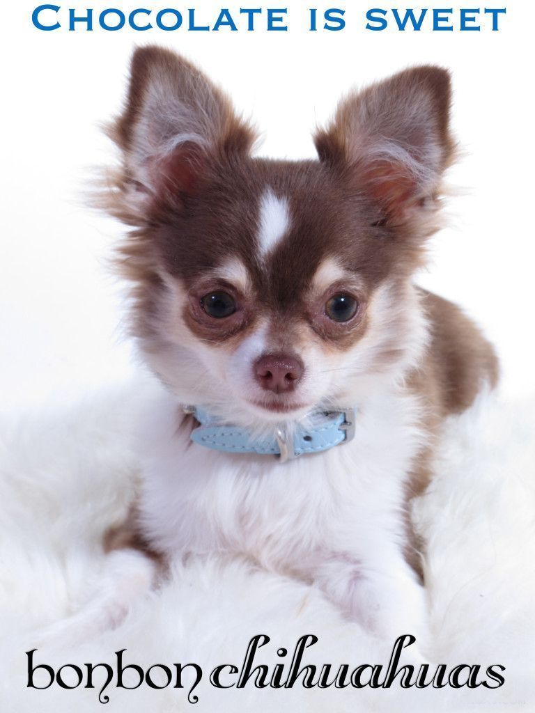 Five Chihuahua Breeds Tips You Need To Learn Now Chihuahua