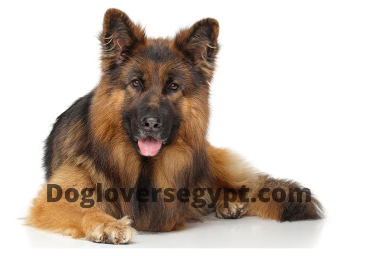 كلب الجيرمن شيبرد المعطف ذو الشعر الطويل Long Haired Corgi Animals Dogs