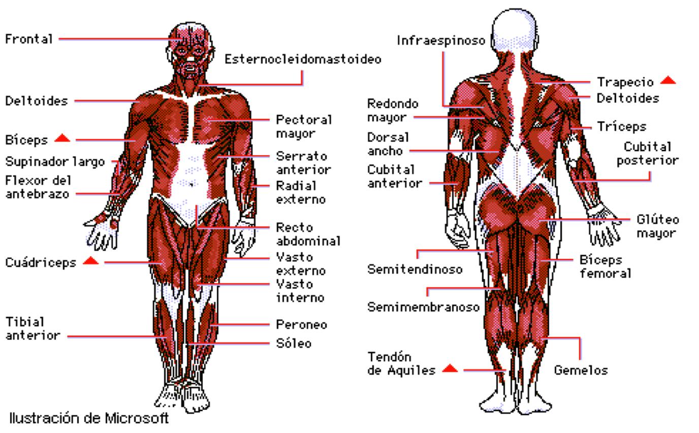 Moderno Diagrama De Sistema Muscular Humana Ilustración - Anatomía ...