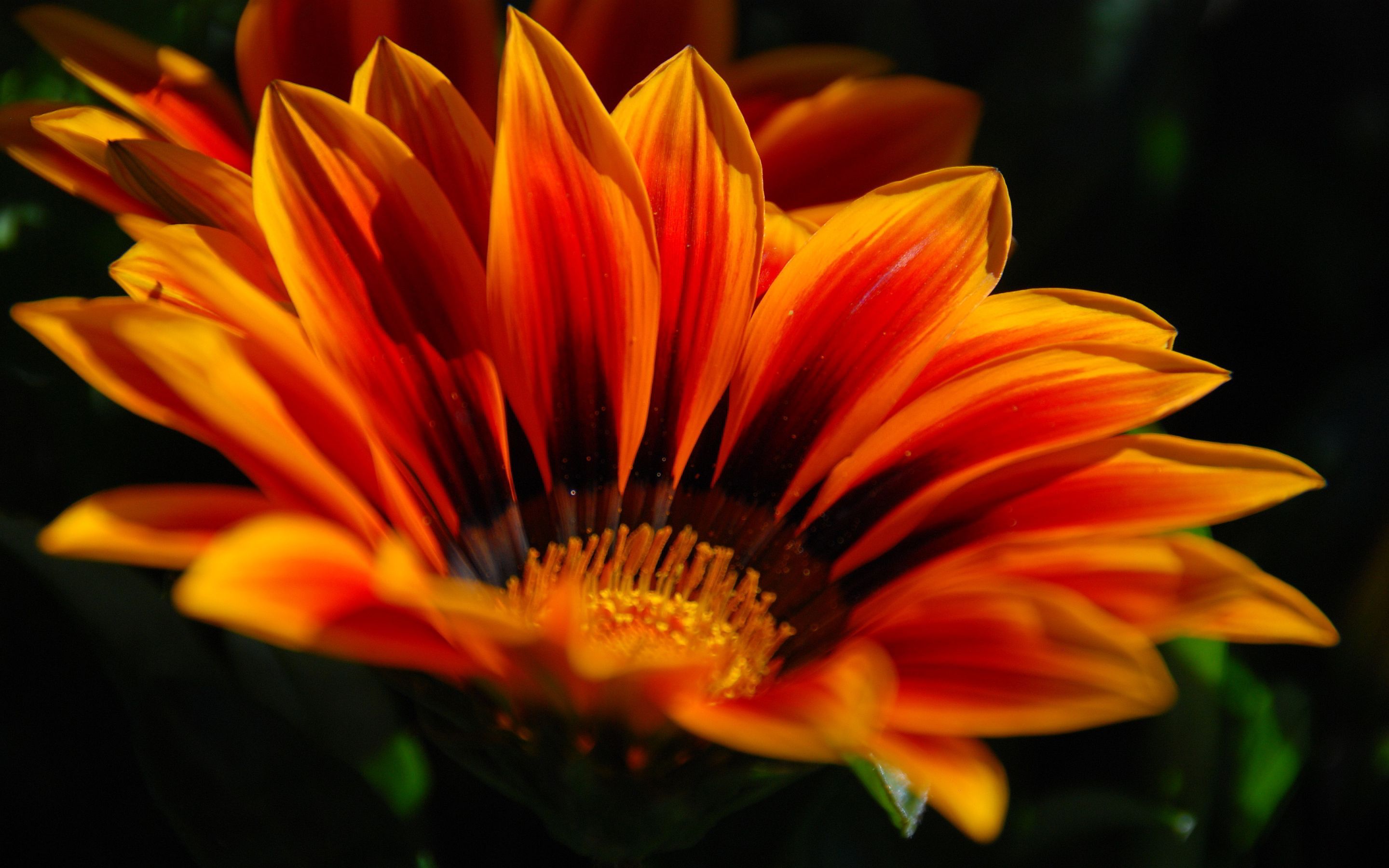HD wallpaper download | Orange flower hd Wallpapers ...