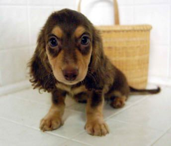Chocolate And Cream Longhair Miniature Dachshund Puppy Dachshund Puppy Miniature Dachshund Puppies Doxie Puppies