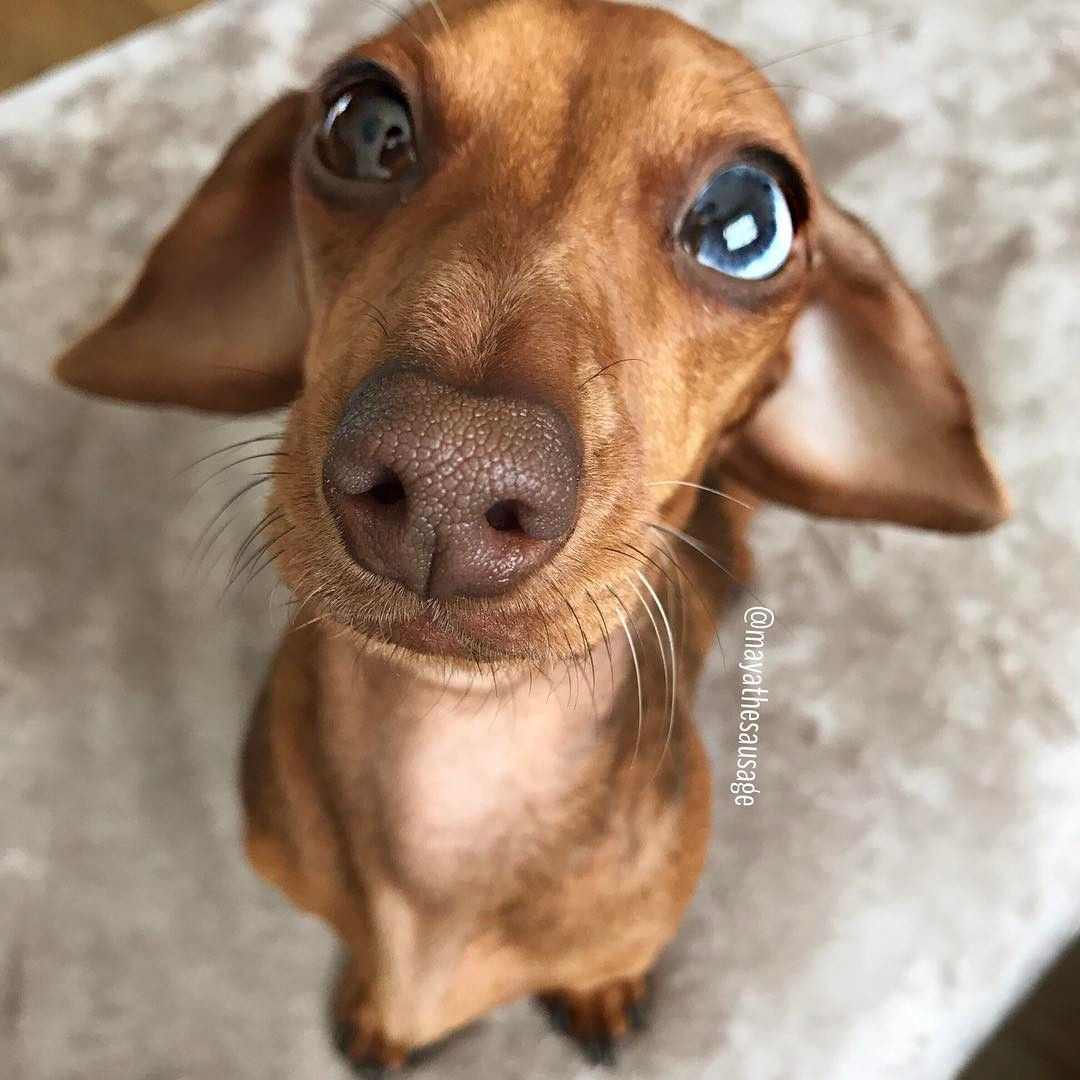 Red Dapple Miniature Dachshund With Different Coloured Eyes