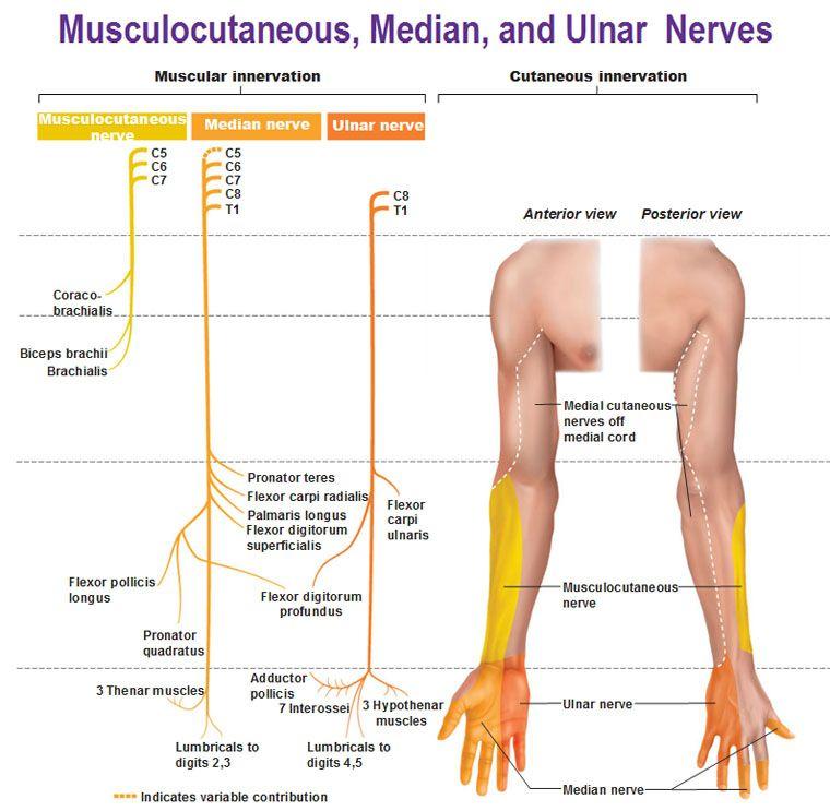 Musculocutaneous median ulnar nerves muscular and cutaneous ...