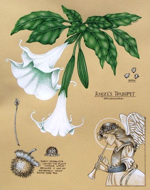 Botanical Notebook Painting Angels Trumpet Angel Trumpet